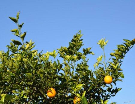 Relatório CDA: 3,7 milhões de plantas  são erradicadas no 1º semestre devido ao greening (HLB)